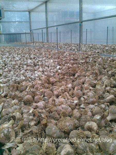 garlic dryR