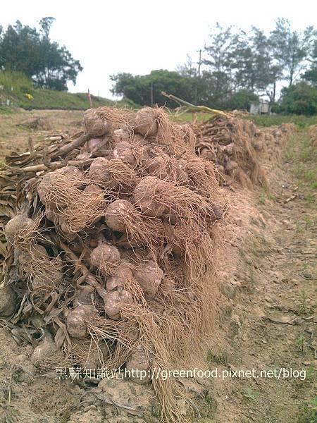 garlic harvest1R