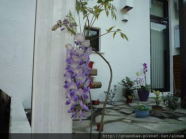第一年的紫藤開花P1060265.JPG