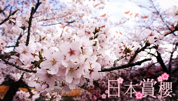「日本櫻花」的圖片搜尋結果