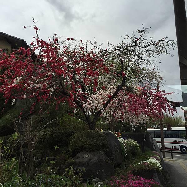 2016年春-日本上野一處民宅牆外櫻花