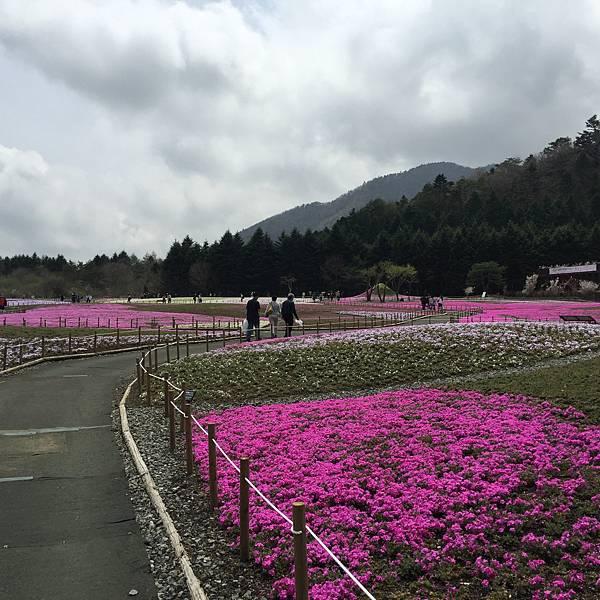 2016年春-日本芝櫻季