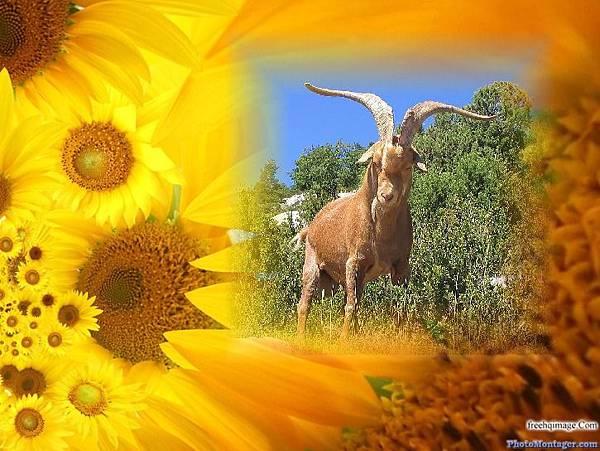 山羊與向日葵
