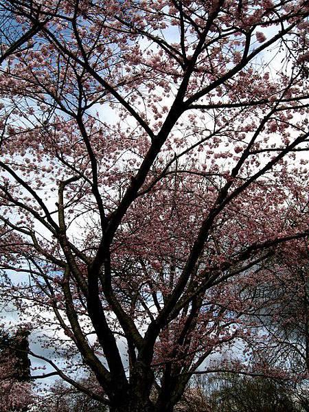 四月的溫哥華,櫻花正悄悄的綻放著。