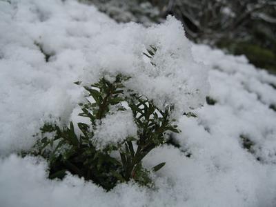 覆上新雪的植物