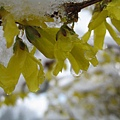 春天的雪.春天的花