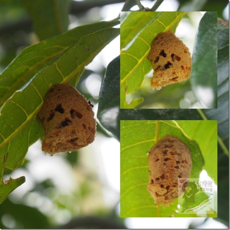 C35樹葉上的小蟻窩