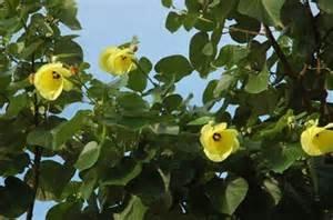 黃槿花2.jpg