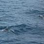 花紋海豚出現嚕.JPG