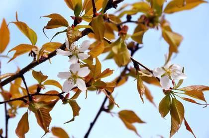 日本「太空櫻」開花 比一般櫻樹快6年