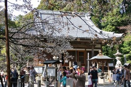 日本「太空櫻」開花 比一般櫻樹快6年3301