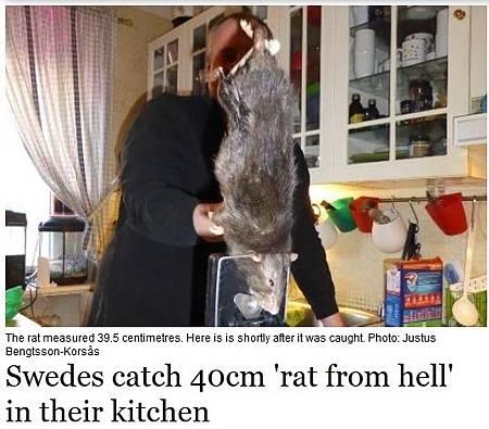 瑞典家庭藏40公分大老鼠