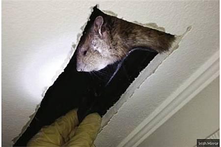 英國驚見60公分巨鼠 大如貓咪_g3021221