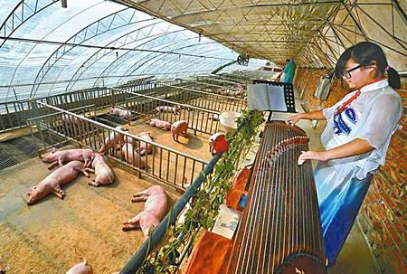 「對豬彈琴」盼提升肉質