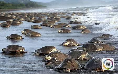 25萬隻海龜上岸奇景 當地賣起海龜茶葉蛋