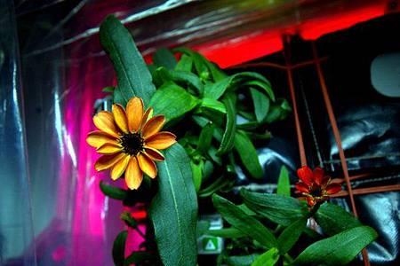 無重力環境生長 太空第1朵花盛開0-
