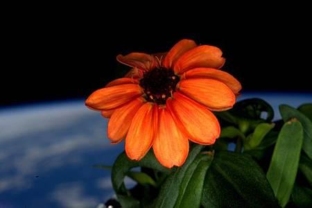 無重力環境生長 太空第1朵花盛開