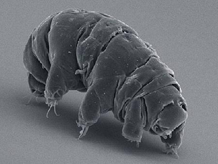 地表最強生物!冰凍30年的「水熊蟲」復活成功