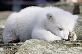 北極熊柯努特暴斃 明星殞落.jpg