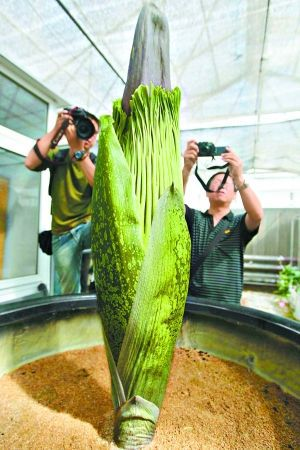 世界最大花卉開花 培育7年身高2米.jpg