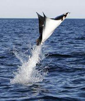 「魟魚展翅」飛上船? 被壓遊客:黏呼呼的.jpg