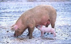 豬讓世界維持運轉.jpg