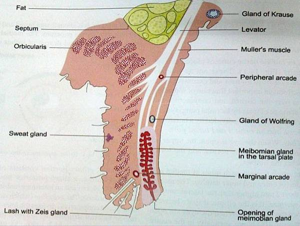 anatomy-physiology-of-eyelids-15-638.jpg