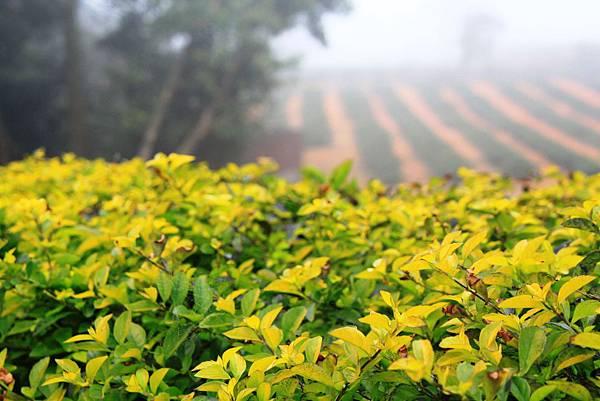 從庭院拍茶園