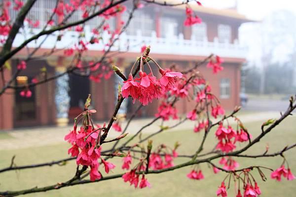 從櫻花樹看禪寺