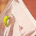 大鳳蝶的蛹