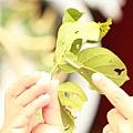 淡(小)紋青斑蝶的幼蟲