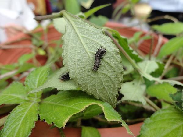 黑擬蛺蝶的幼蟲
