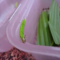 紫蛇目蝶的幼蟲
