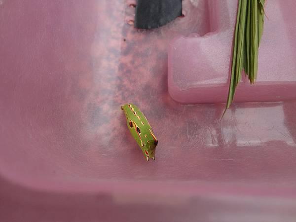 紫蛇目蝶化蛹囉~