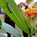 樺斑蝶的幼蟲與馬利筋