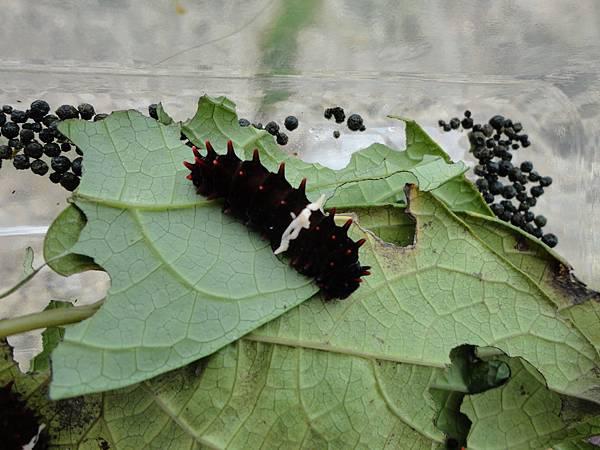 紅紋鳳蝶的幼蟲