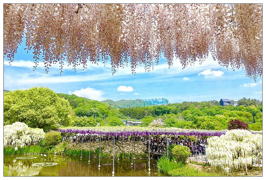 201754 足利公園紫藤花美景_170507_0010