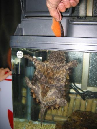 鱷魚龜 (9).jpg
