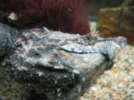 鱷魚龜 (2).JPG