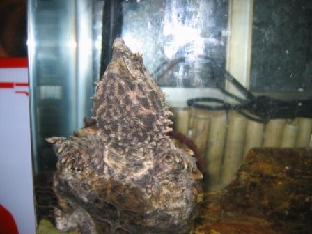 鱷魚龜 (8).JPG