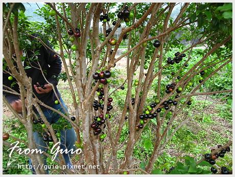 樹葡萄之旅06.jpg
