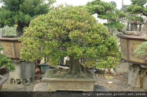 頂級象牙樹