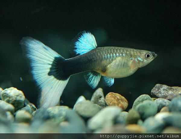 黃尾禮服母魚