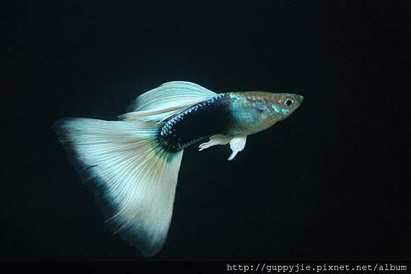 黃尾禮服公魚