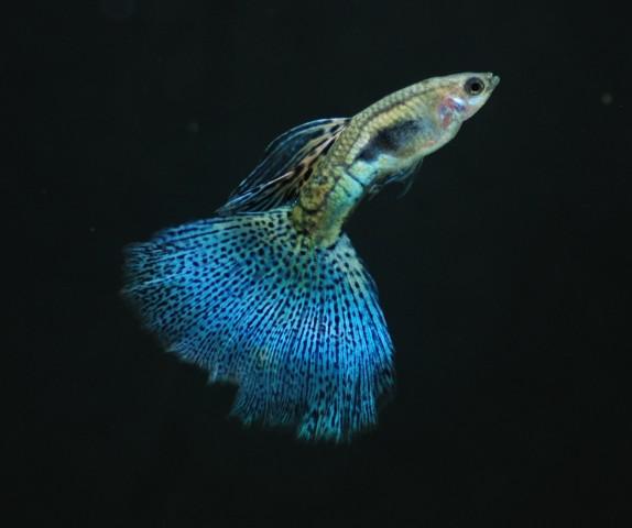 藍草尾-16