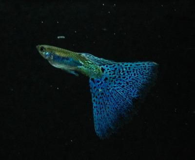 藍草尾-13