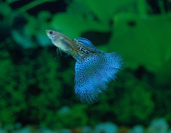 藍草尾-15