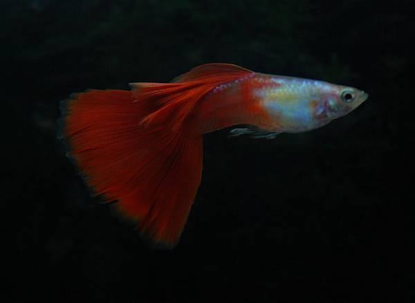白金紅尾-2