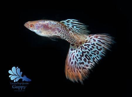 《草尾類》 魚名 : 銀河紅草尾白子 英譯 : RREA Red galaxy glass 體色 : 真紅眼白子 (RREA) 尾型 : 扇尾 (F
