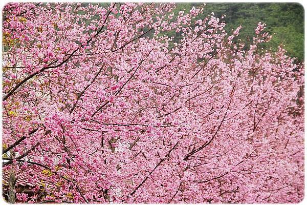 2011.02.19_武陵賞櫻_007